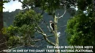 The Critically Endangered Philippine Eagle