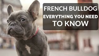 FRENCH BULLDOG 101 - Everything You Need To Know About Owning A French Bull Dog Puppy