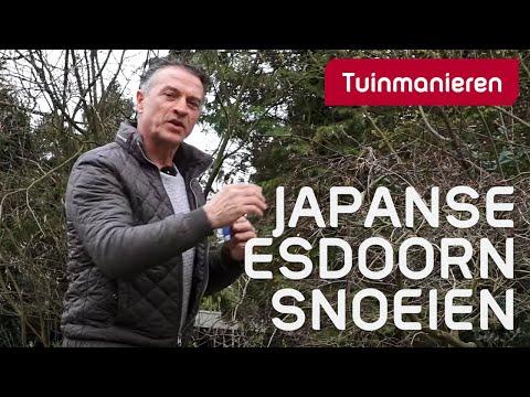 Hoe snoei en verzorg je de Japanse Esdoorn in de lente?
