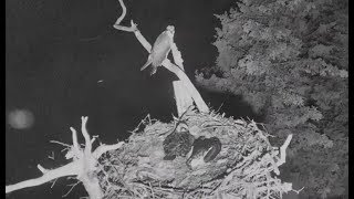 Audubon Hog Island Osprey Cam ~ Owl Attacks Again; 2nd Chick Aspen Taken 7.13.17