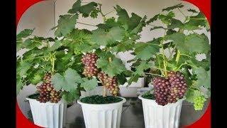 Rahasia Menanam Anggur Dalam Pot Agar Cepat Berbuah