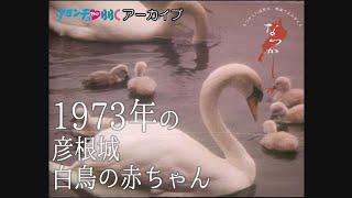 1973年 彦根城白鳥の赤ちゃん【なつかしが】