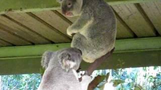 Crazy Koala Fight
