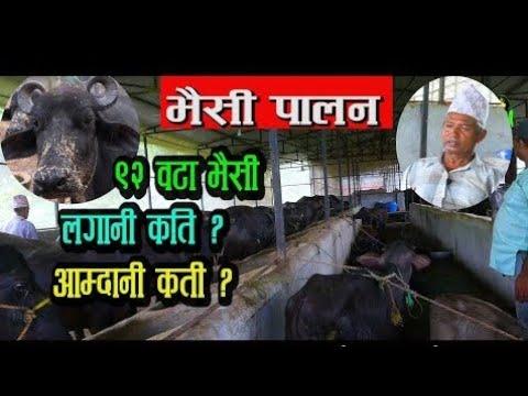 मासिक लाखौं आम्दानी । Bhaisi palan in nepal | नेपालमा भैसी पालन | Agriculture in Nepal