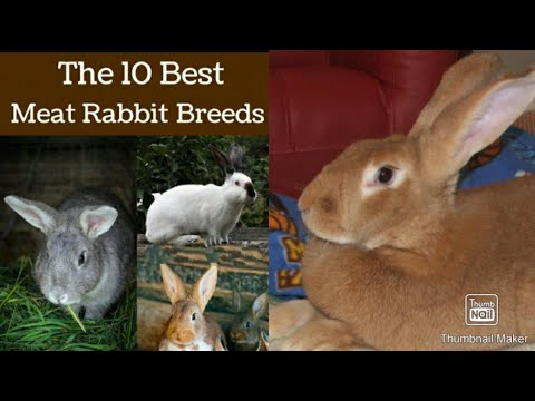 , title : '10 Best Meat Rabbit Breed for Homestead