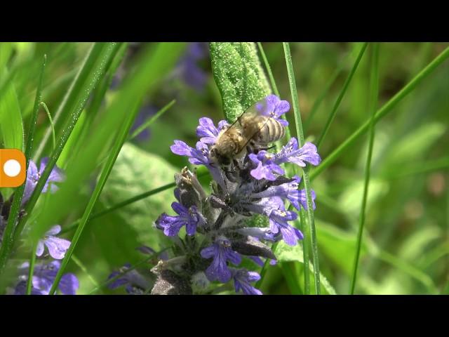 Пчелы-роботы научились проникать в сообщества живых насекомых, чтобы предотвратить их вымирание