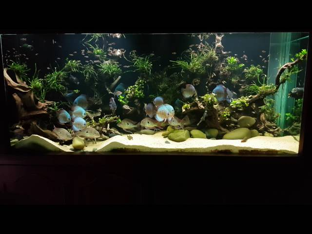 600 gallon planted discus tank! Bed time