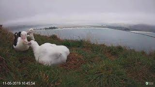 Royal Albatross~Mom is feeding her girl, Dad is preening mom~16:45 2019/05/11
