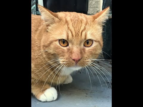 FRED, an adopted Tabby in Laguna Woods, CA_image-1