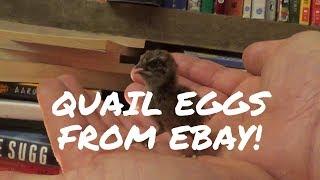 Hatching Quail Eggs Bought on eBay