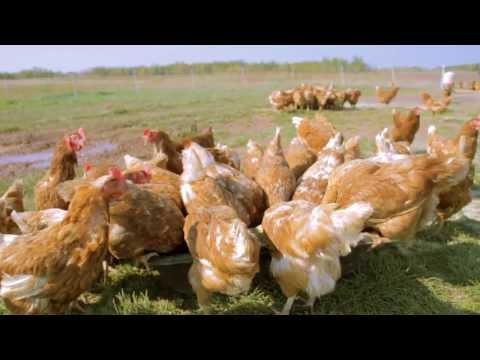 Locally Laid Egg Company Commercial (2013 - 2014) (Television Commercial)