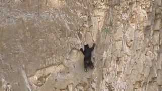 Медвежонок карабкается по отвесной стене
