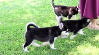 pomsky puppies for sale in syracuse ny - Thủ thuật máy tính - Chia