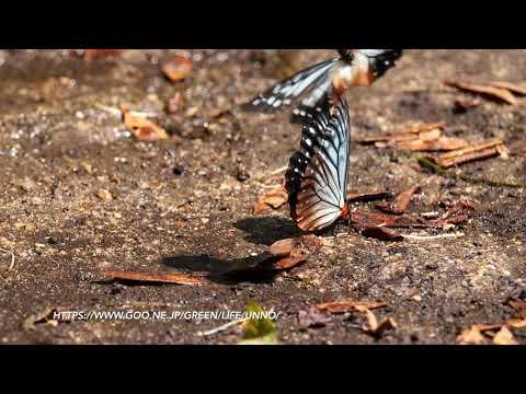 クビワチョウの飛翔 Calinaga sudassana in flight