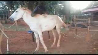 Vida Animal: Cavalo Tentando Cruzar Com égua