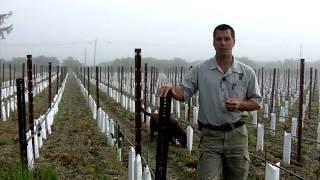 In The Vineyard - Effects of Narrow Spacing of Vines