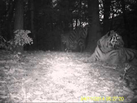 Video einer Tigerfamilie