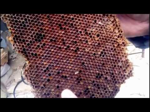 Извлечение получение и переработка перги из пчелиных сот  Retrieve get and processing of pollen from