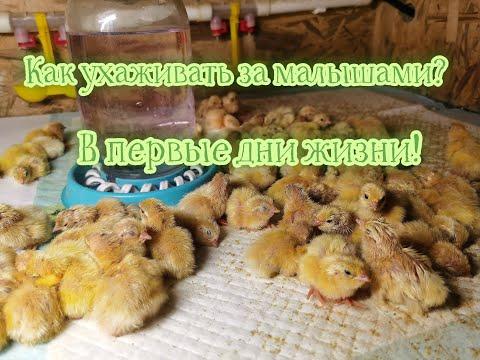 , title : 'Как ухаживать за птенцами перепела, как сохранить малышей в первые дни жизни!!