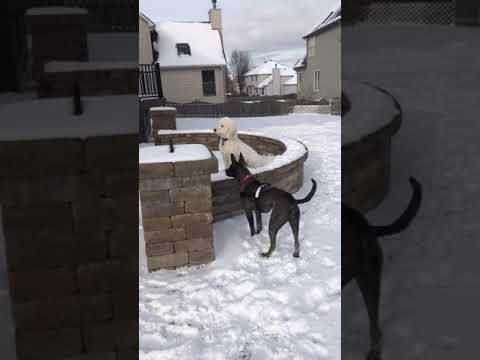 Dixie, an adopted Pharaoh Hound & Terrier Mix in Aurora, IL_image-1