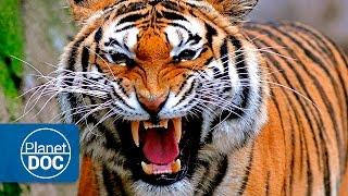 Tigres y Hombres. Guerra Mortal   Documental en Español