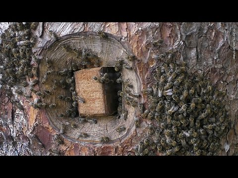 , title : 'BEES IN THE HEART OF TREES - Tree Beekeeping in France