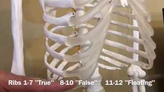 Ribs: True, False & Floating - Biology 101 Mondays