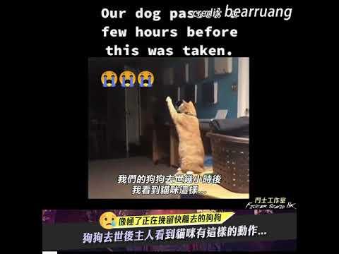 狗狗去世後主人看到貓咪有這樣的動作