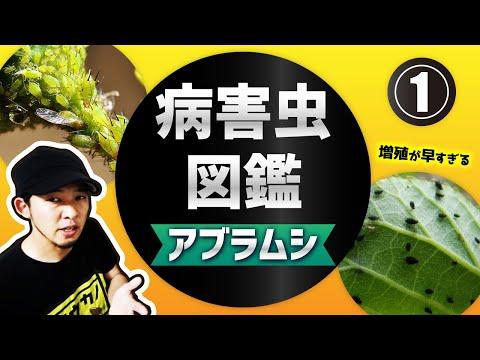 , title : '大量発生したアブラムシ駆除方法【おすすめ農薬】菜園病害虫防除講座①