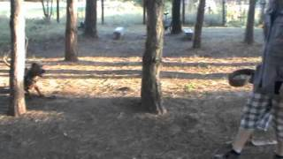 Andante Bandog Kennels Training day 1.m4v