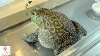 GRAPHIC: Live Frog Recipe | Delicious Twice Cooked Frog Recipe (Cantonese Inspired)
