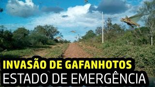 """INVASÃO DE """"GAFANHOTOS"""" - ESTADO DE EMERGÊNCIA"""