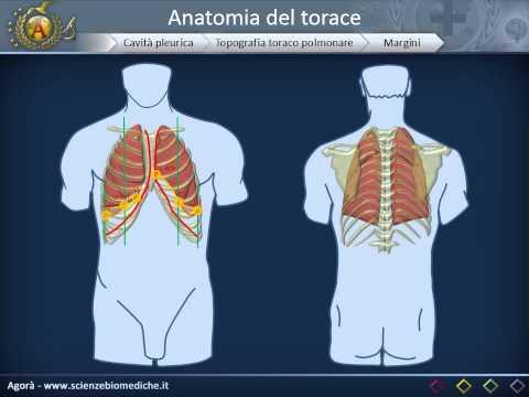 Anatomia - Cavità toracica