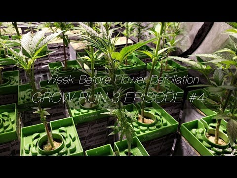 1 Week Before Flower Defoliation – GR3 E4