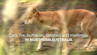 Cats, fire, buffaloes, dingoes and mammals in Northern Australia