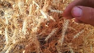 Промежуточные результаты уборки пшеницы Сталева.