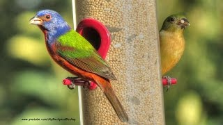 Painted Buntings Return For Winter