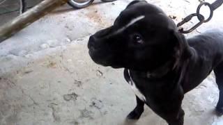 BITOCA DO LOUCO DRAMA pit bull fight