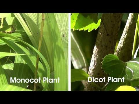 Monocot and Dicot Plants - MeitY OLabs