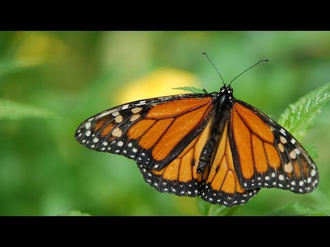 Visit El Rosario Monarch Butterfly Sanctuary in Mexico