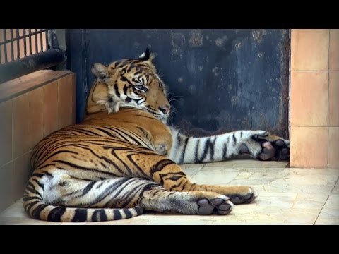 Amputee Tiger Saved From Poachers | Tigers About The House: What Happened Next | BBC Earth Mp3