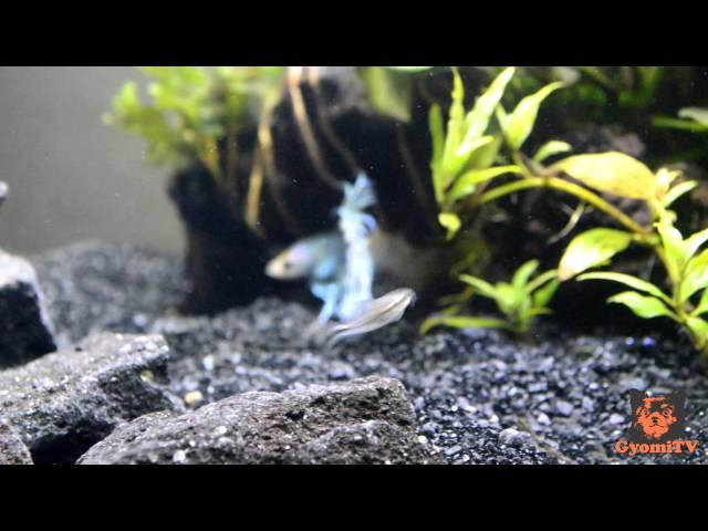 How to Introduce Tank Mates to a Betta Aquarium