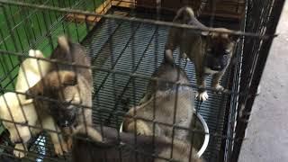 紀州犬水遊び。