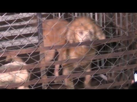 Anteprima Video Abusi in Messico: donna accusata di aver ucciso cani e di aver venduto la loro carne.