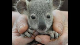 Baby Koala Bear Model of a  Day Old and 6 Months Old
