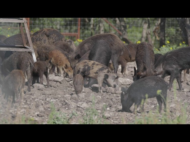 Dealing with feral hogs