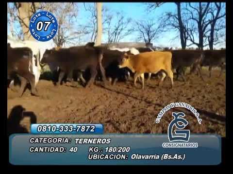Lote Machos - Olavarria