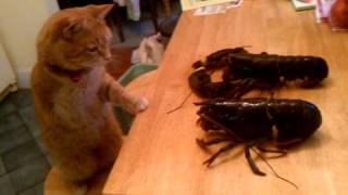 Tripod cat vs pistol lobster