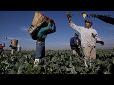 Video Cara Menanam dan Budidaya Brokoli