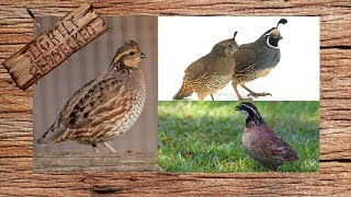 What Type Of Quail Should You Raise?